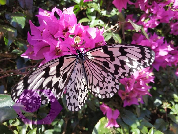 社頂自然公園路旁的蝴蝶